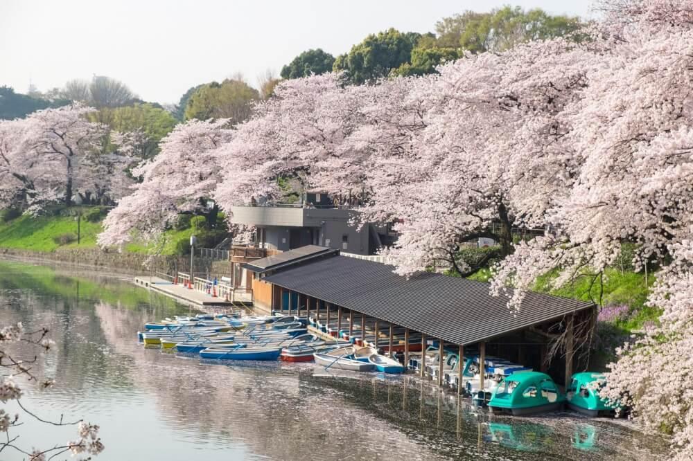 Sakura Dorigafuchi Tokyo