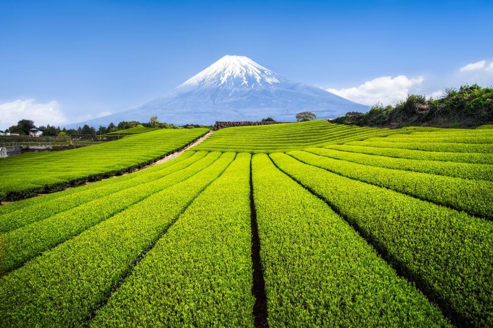 Fuji and tea